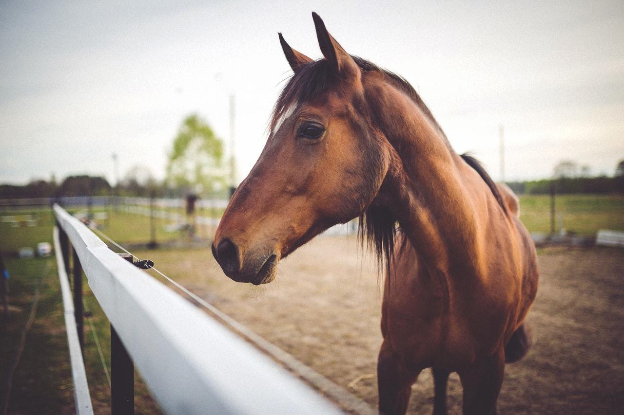 Hevosurheilijan kulmakivi; hevosen ostaminen